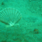 Clams swimming